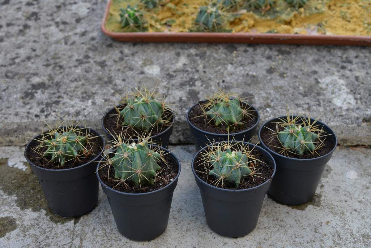 La multiplication du Ferocactus ...