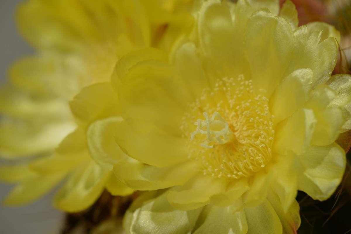 Floraison du Noto ...
