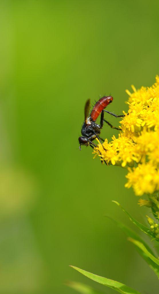Cylindromyia bicolor : l'amie des jardiniers ?