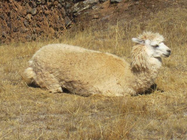 les lamas de Pumamarca