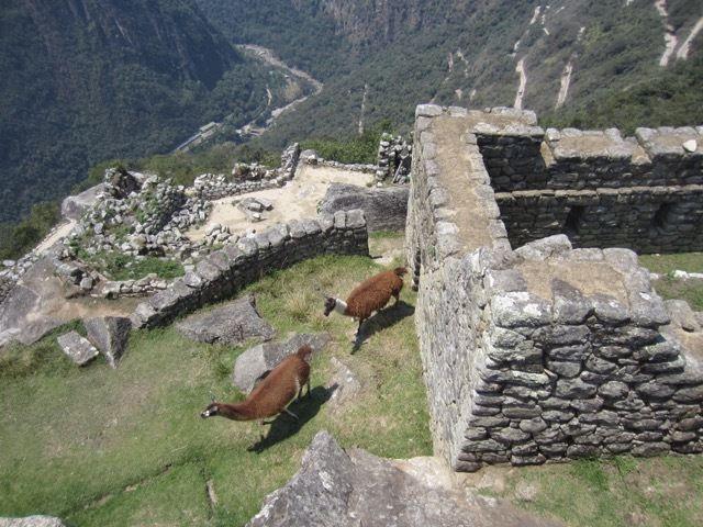 des lamas se baladent dans un batiment qui nous est interdit d'acces
