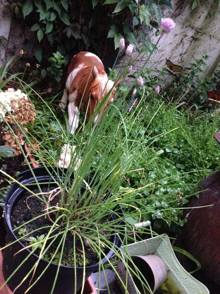 Ma ciboulette de l'an dernier a repris du poil de la bete et est en pleine floraison