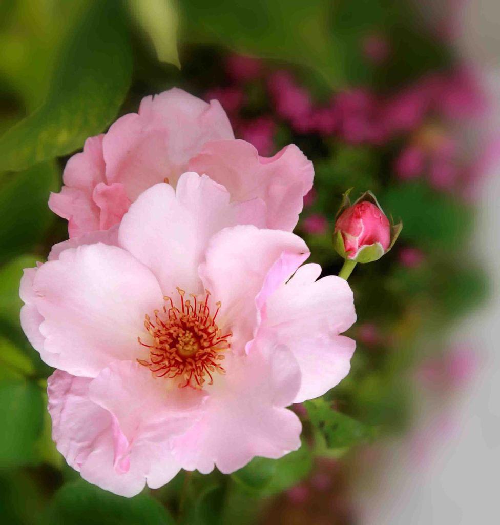 "La rose ""Jardiniers du Paradis"" créér en 2009"