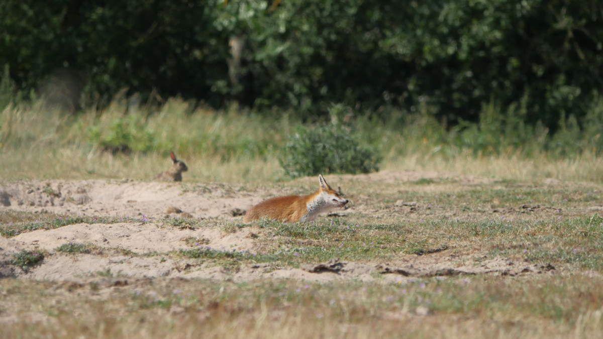 Yves Mallet Photo gauche : Renard et lapin dans le même terrier. 4 juin, 10 heures du matin.