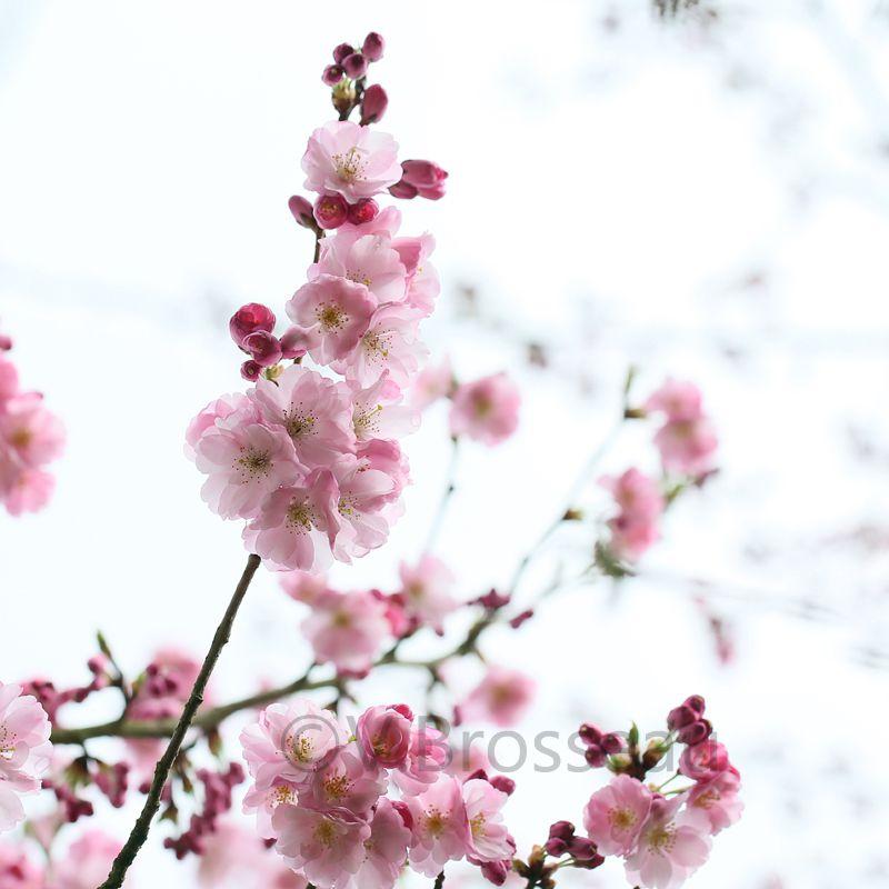 Prunus serrulata ou ...