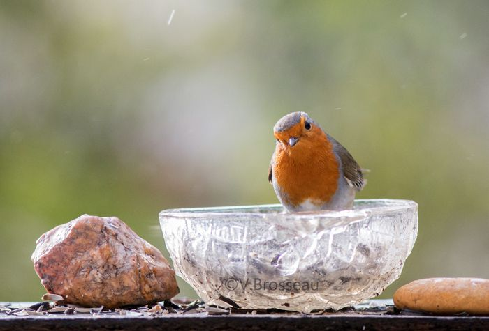Bonjour Robin ! le chouchou du jardin ...