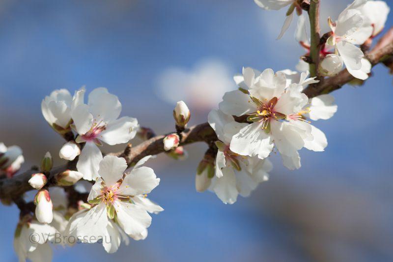 Les amandiers en fleur, en Provence ...