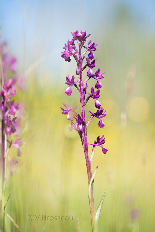 L'orchis à fleurs lâches ...