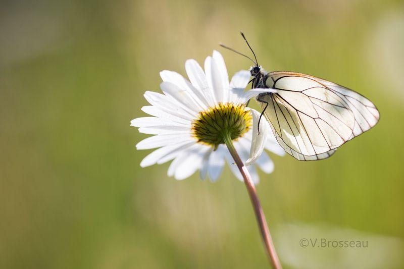 Le papillon gazé ...