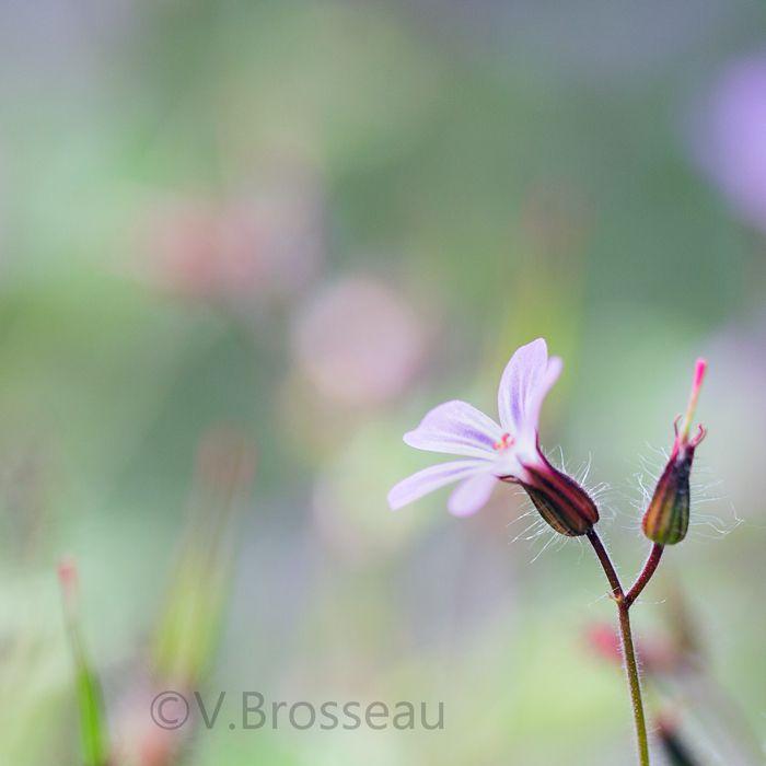 Restons dans les fleurs sauvages avec le géranium sauvages ...
