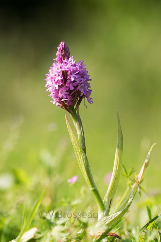 D'autres orchidées photographiées dans la campagne ...