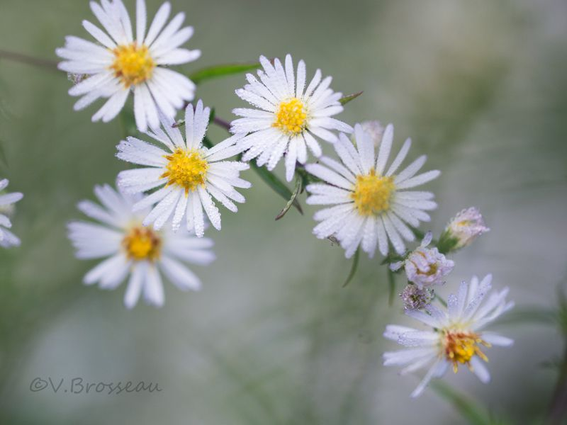 Asters sauvages des bords de Loire ...