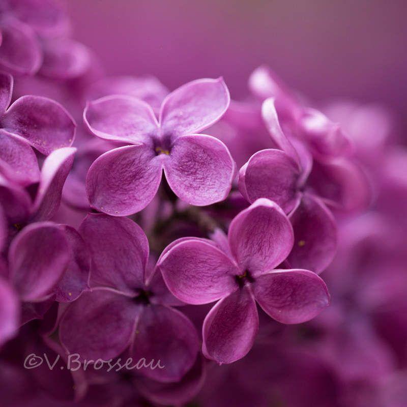 Tout près des fleurs de lilas ...