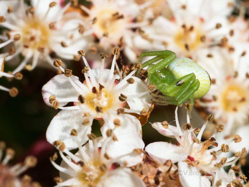 La thomise (araignée) et la fourmi ...