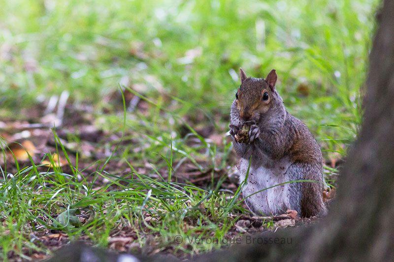 L'écureuil gris de Californie ...