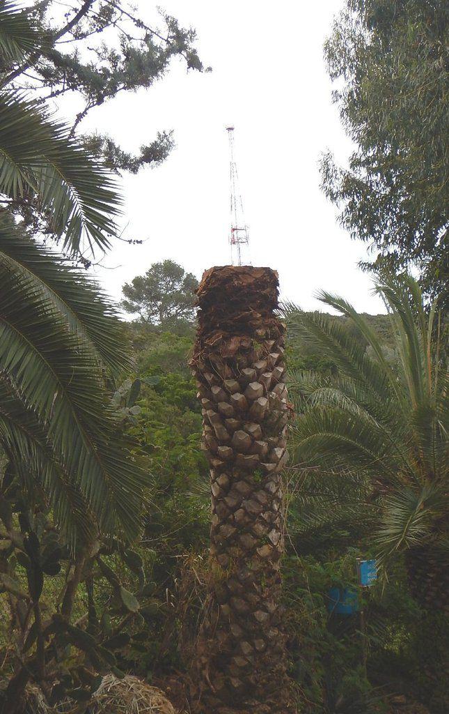 Antenne sur palmier