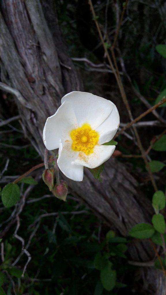 Fleurs de ciste à feuille de sauge