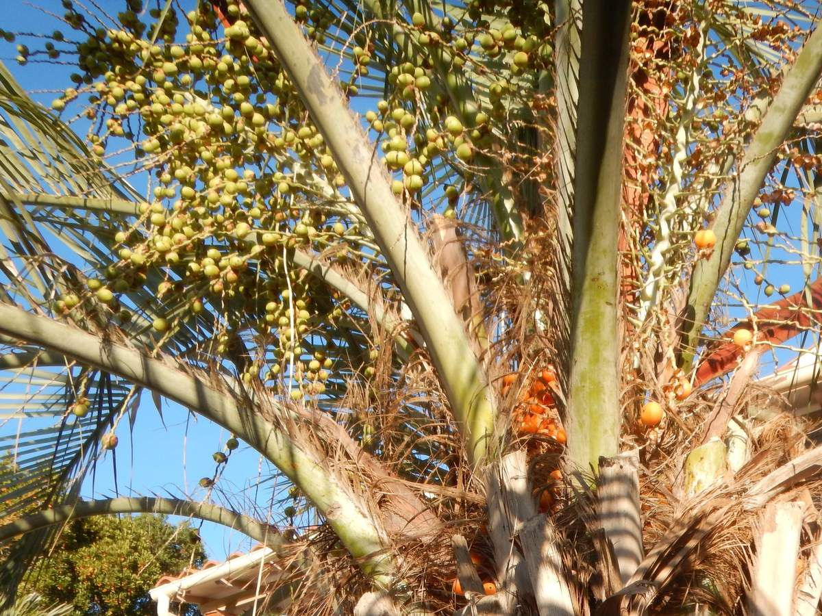 Butia capitata, le palmier abricot