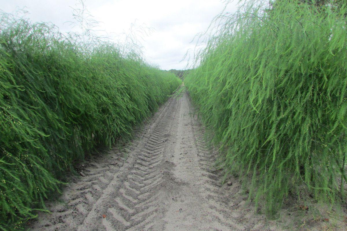 champs d' asperges