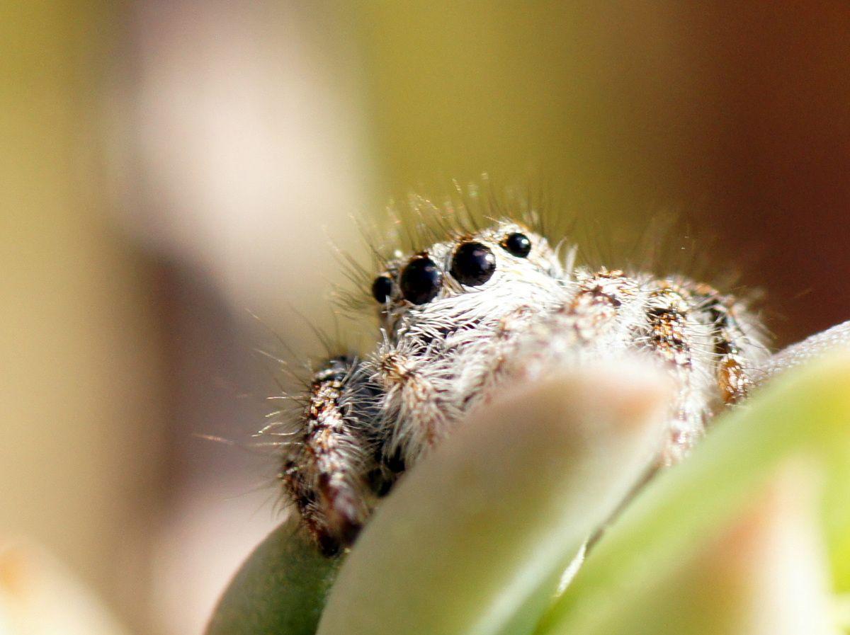 avec le printemps arrivent les premiers insectes et bien evidemment les araignées prédatrices. Ici deux minuscules salticidées aelurillus et marpissa aux aguets