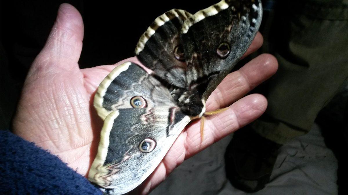 le plus grand papillon de nuit d'europe rencontré dans le var