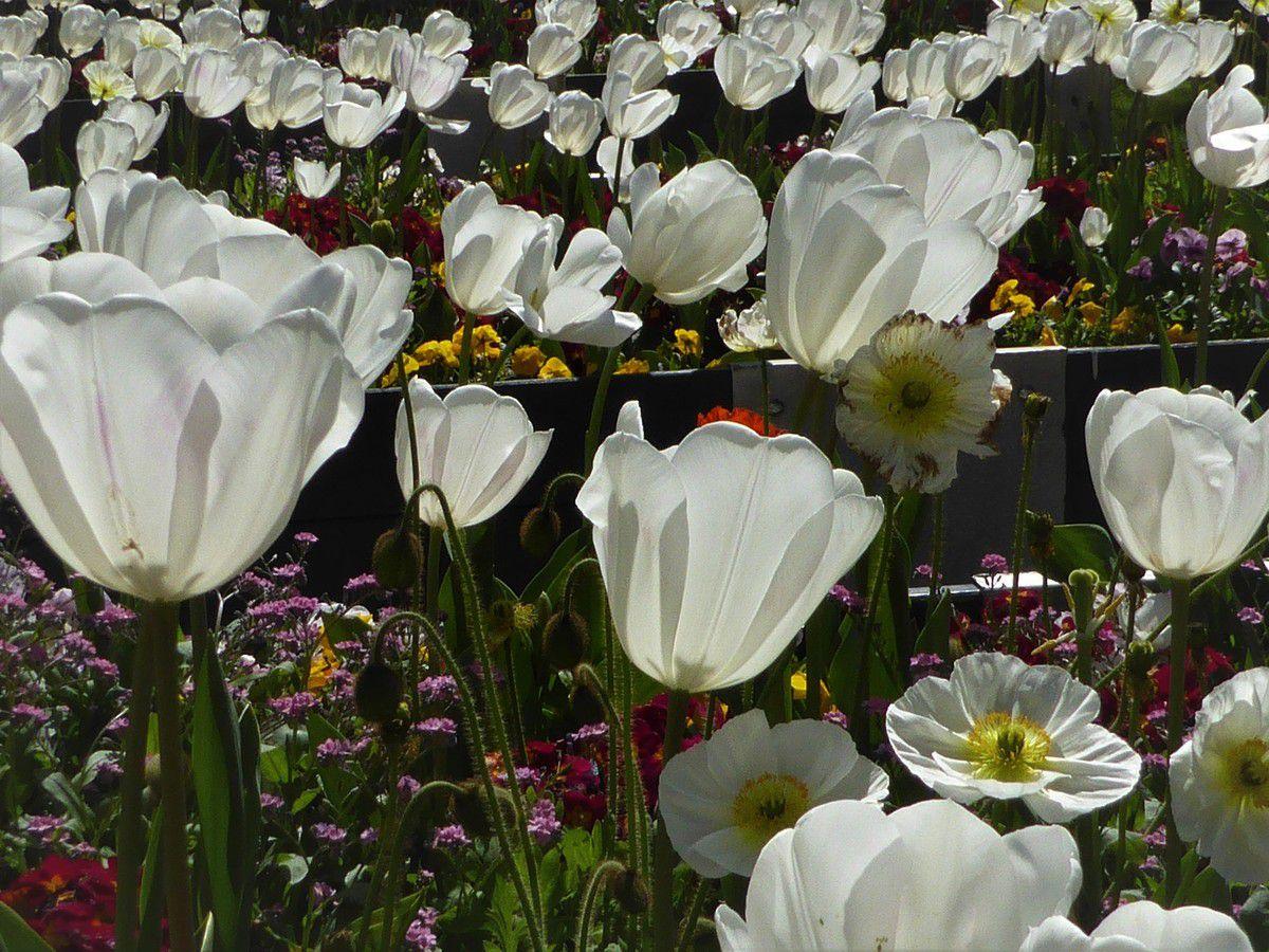 Tulipes au jardin du théâtre Max-Jacob à Quimper