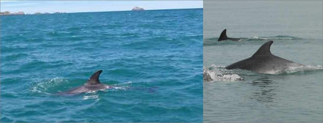 Alors, lequel est un jeune dauphin de Risso et lequel est un grand dauphin??? Réponse: le dauphin de Risso est à gauche