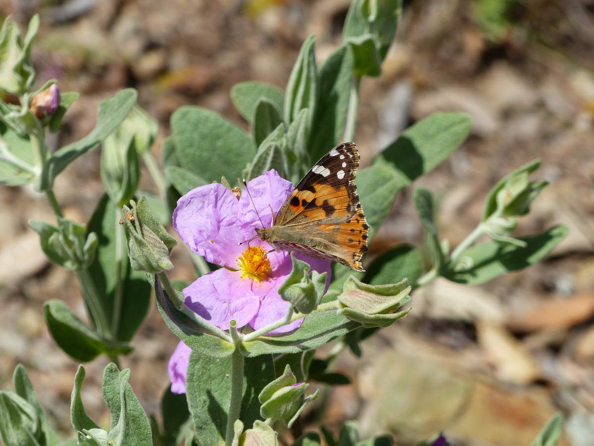 Le papillon doit être le Vanesse cardui (du chardon) mais ici du ciste    The butterfly has to be Vanessa cardui (of the thistle) but here of the cistus.