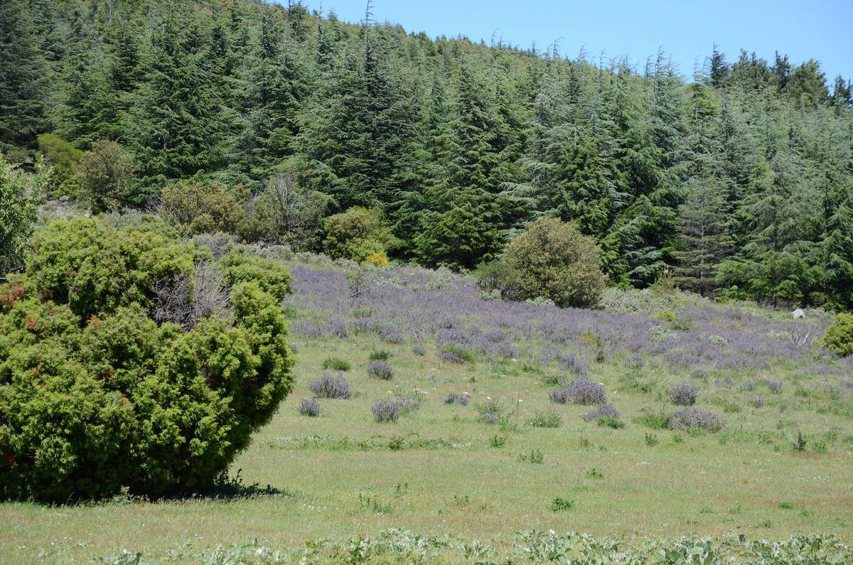 Forêt de cèdres de l'Atlas, avec moult coussins de lavande stoechas.    Forest of cedars of the Atlas, with many pillows of lavender stoechas
