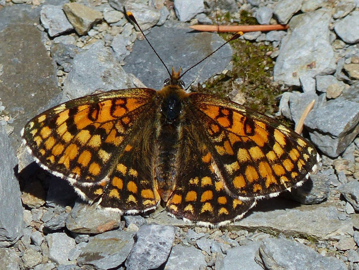"""Moi, je me chauffe au soleil!"", dit le Damier Athalie (Mélitée du mélampyre), Mellicta athalia&#x3B;   "" I, I warm to the sun! "", Mellicta athalia say the Checkerboard Athalie ( heath fritillary),"