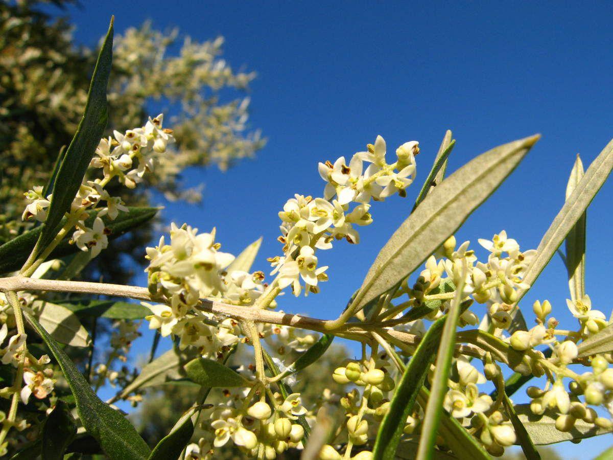 Savons naturels à l'huile d'olive