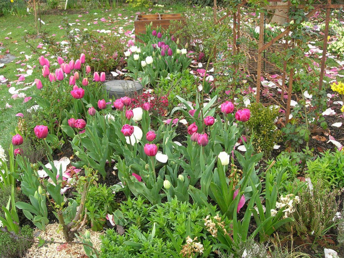 Tulipes, jacinthes, crocus, bulbes de printemps Nantes Mars 2015