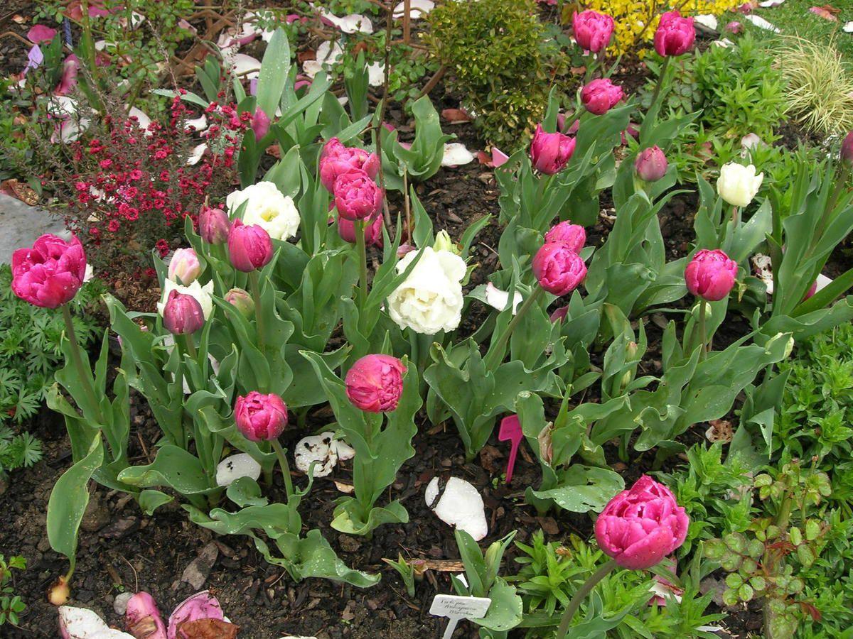 03 04 2015 Tulipes doubles mix blanc rose pourpre et leptospermum (myrte Nlle-Zélande, rose, à gauche)