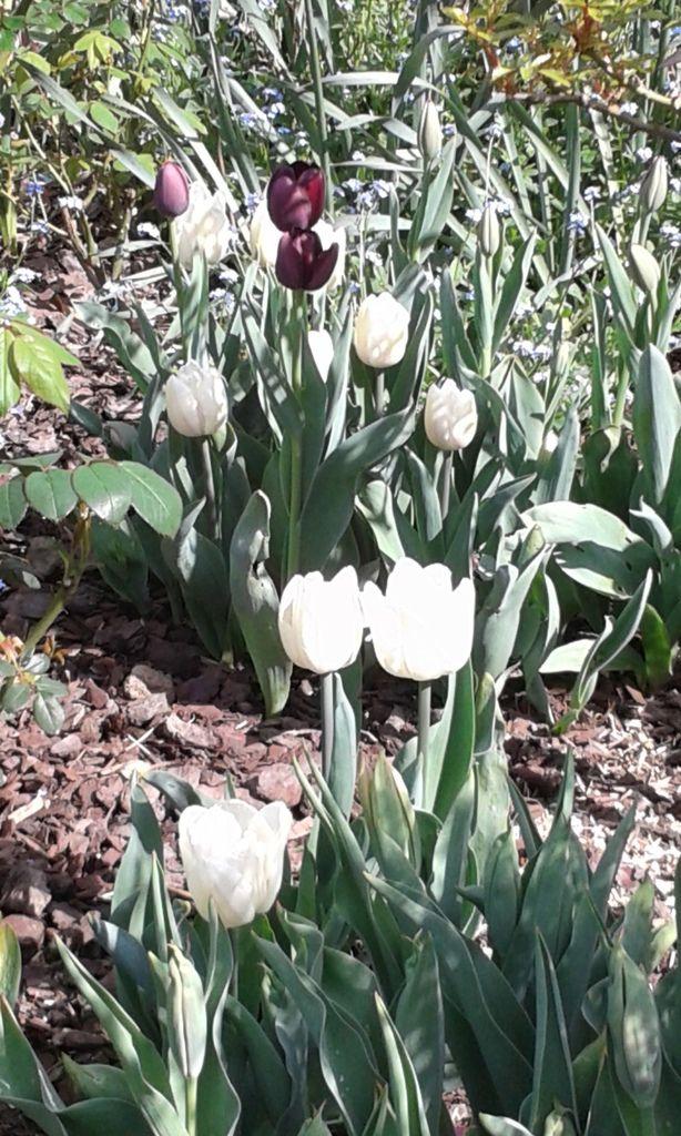Tulipes Jeu de Dames Blanc Noir 12 - 15 Avril 2015 (plantées fin octobre 2014)