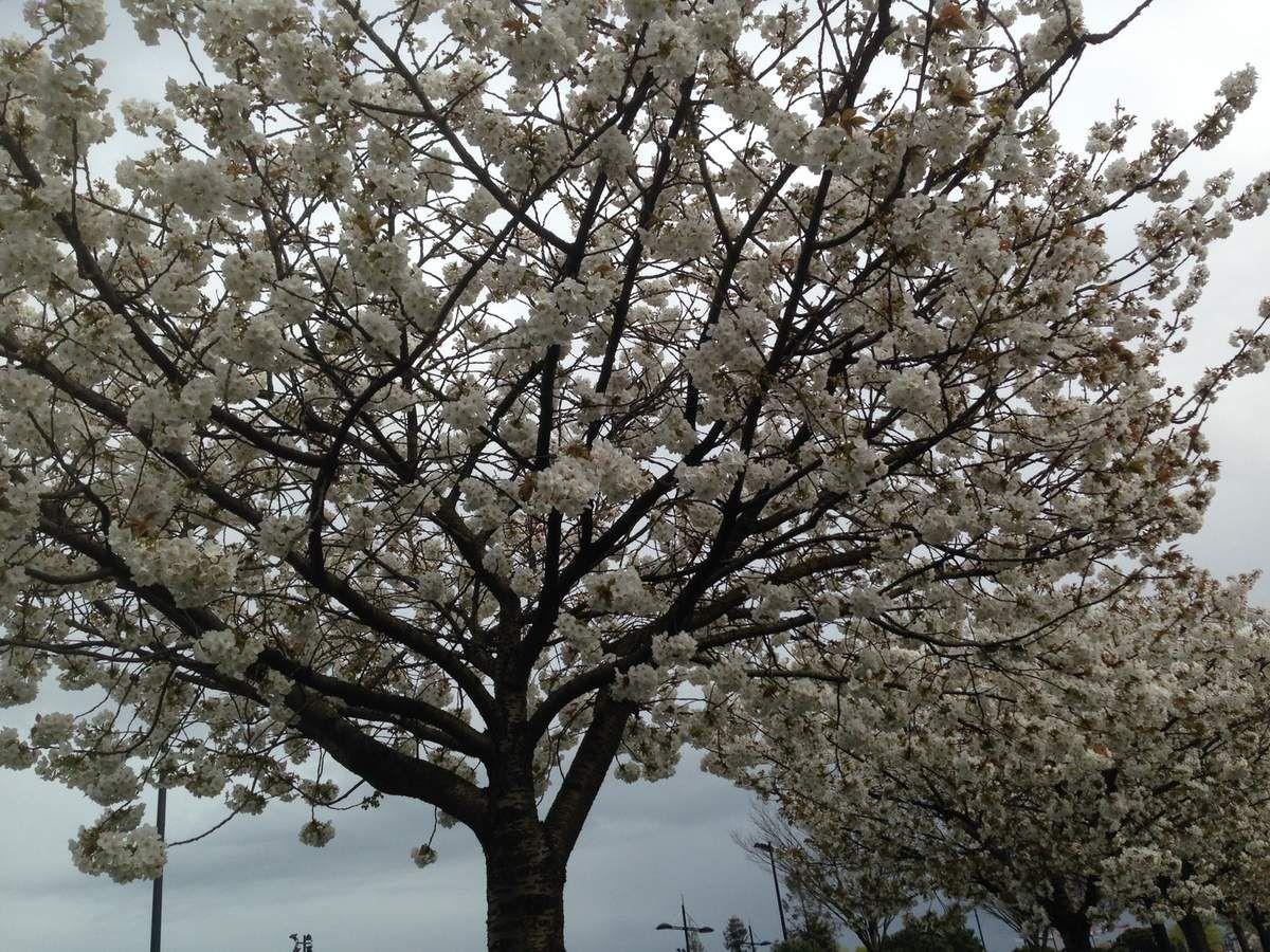 ici à Bordeaux, les cerisiers en fleurs