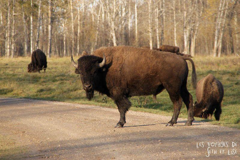 Elk Island, le paradis des bisons tout mignons