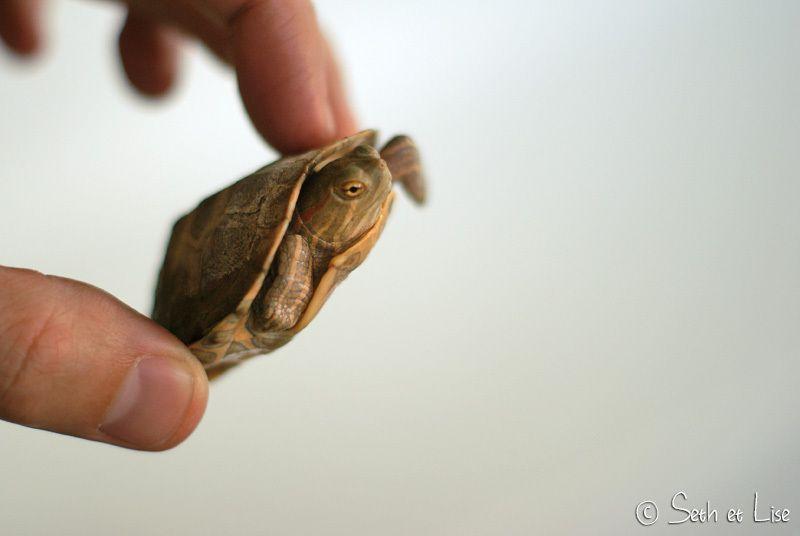 La tortue qui se prenait pour Superman