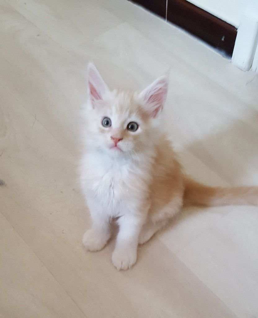 Mâle Red Silver Blotched Tabby