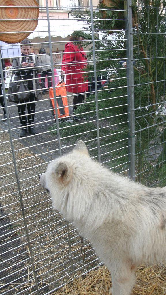 voici : Le Marché , mon stand et Les loups du Castel, Francky ESTRADE Dresseur capacitaire Loups    La Louverie du Castel , Route des Garrigues 83330 Le Castellet  Tél :06 59 86 52 55  ou 04 94 90 70 78 (lalouverie@laposte&#x3B;net)