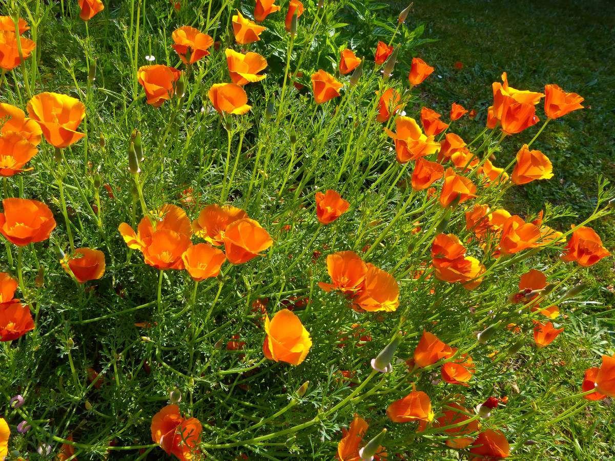 Devinette du samedi 6 juin 2015 - Suite - Eschscholtzia californica ou pavot de Californie
