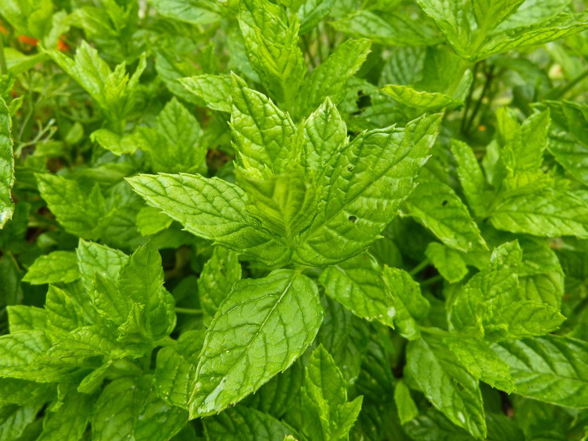 Mentha spicata ou viridis ou menthe verte