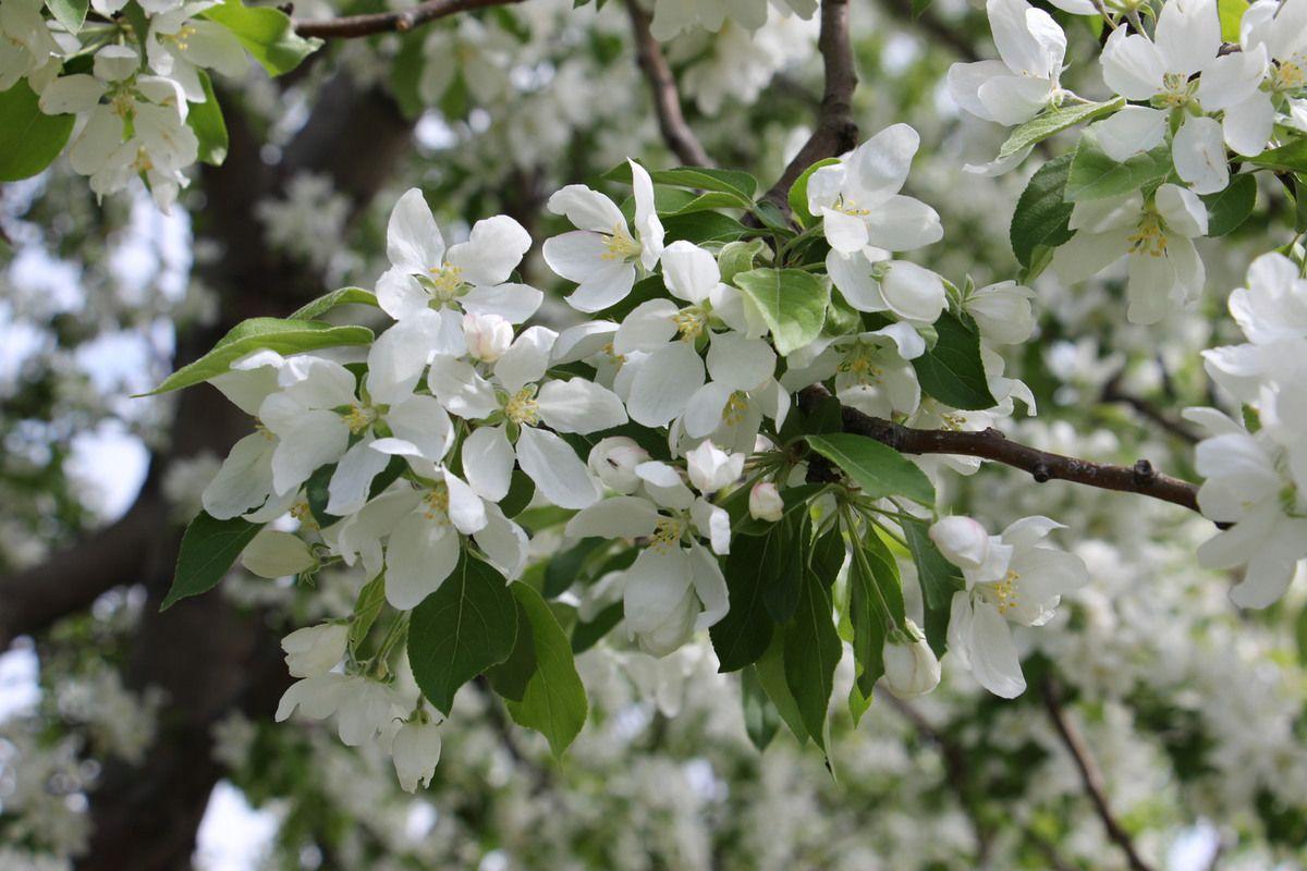 Les cerisiers le long du vieux port.