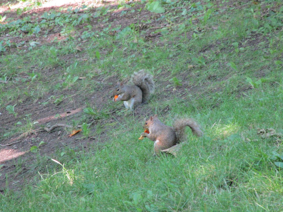 Les écureuils du Mont Royal