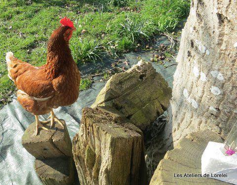 Tiens,tiens, une cocotte fait sa curieuse!!! Elle aussi veut voir la création de plus prés.