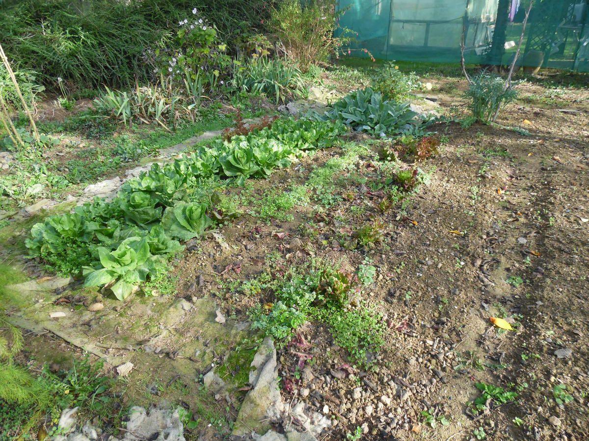 et à ce coin de salades...Vu la sécheresse de ces mois d'été, j'ai préféré ne pas faire plus de cultures, j'ai arrosé avec parcimonie et j'ai du résultat.
