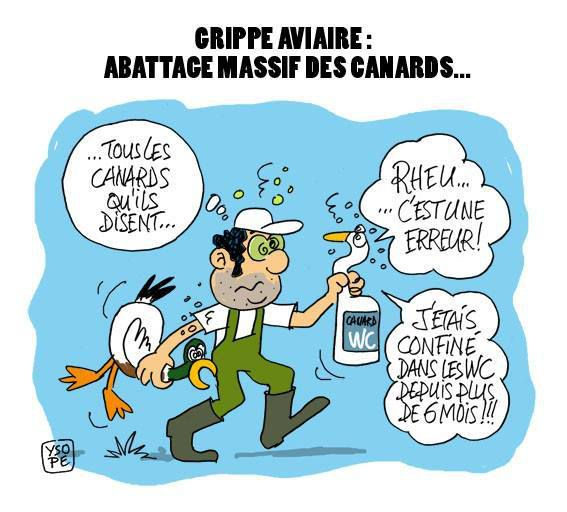 Grippe aviaire, abattage massif des canards...