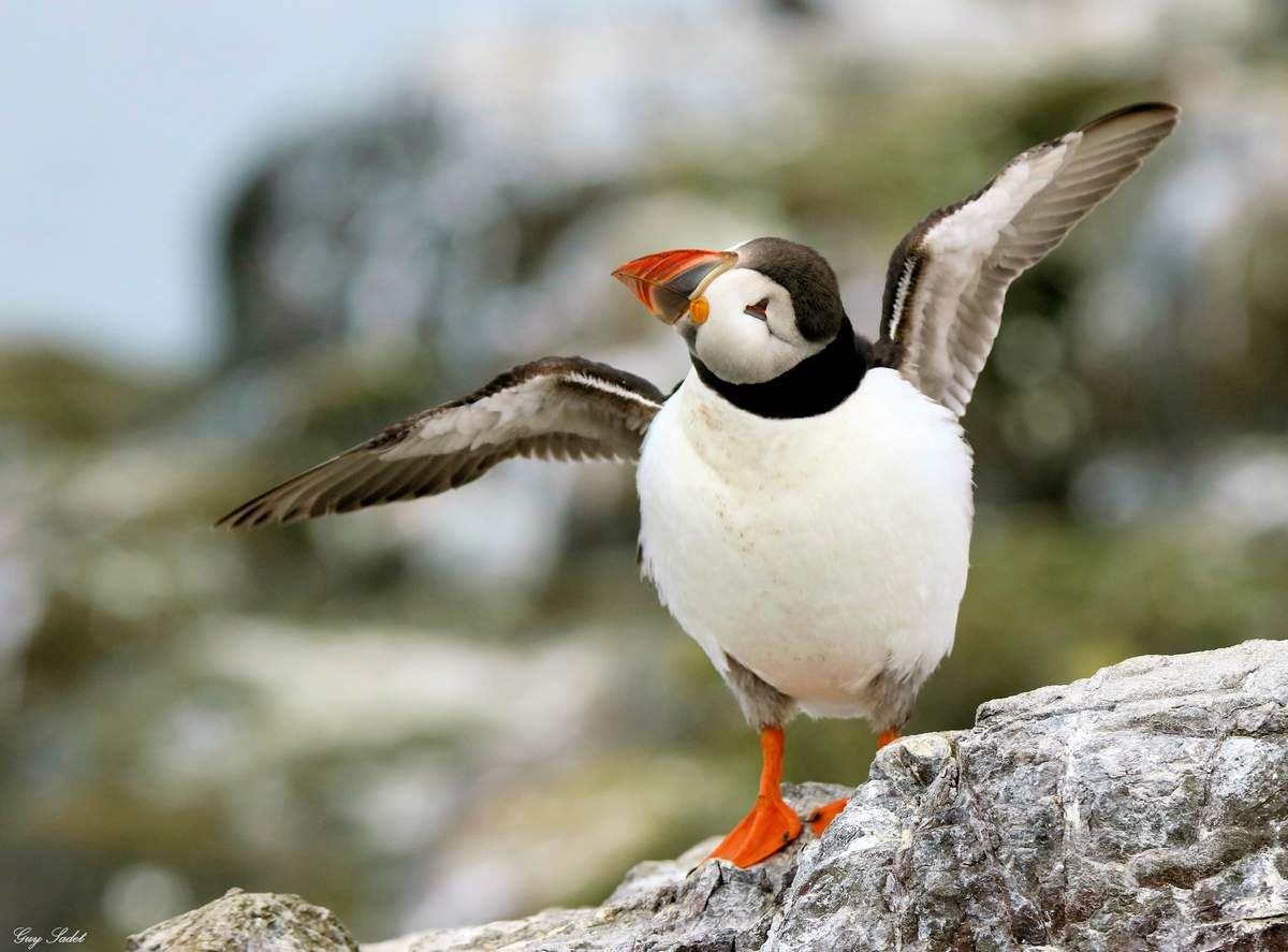 The Farne Islands (GB) :immersion dans l'un des plus fabuleux sanctuaires d'oiseaux de mer