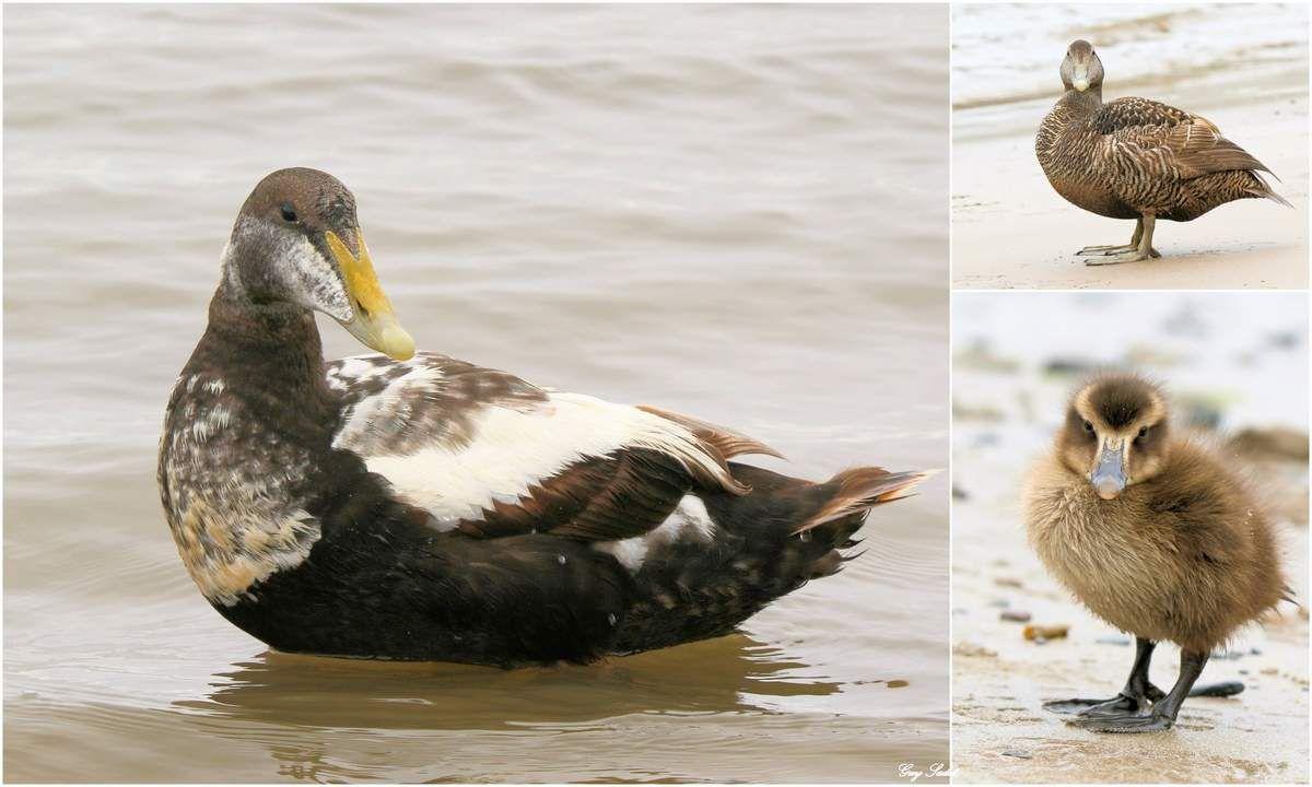 Eiders à duvet , à gauche le mâle , en haut à droite la femelle , en bas le poussin
