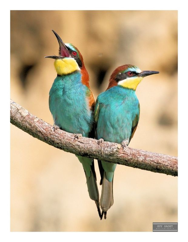 Le couple est le plus souvent monogame et peut s'unir pour la vie.