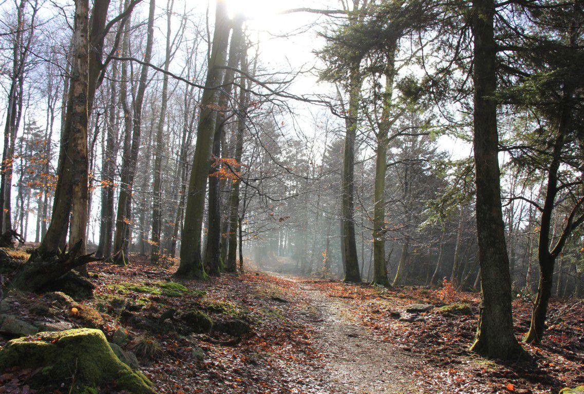 Forêt domaniale de Dabo.